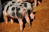 国内猪,野猪家,仔猪,一个农场,巴伐利亚,德国