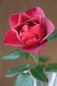 玫瑰,粉色,热巧克力,一个,盛开,花瓶