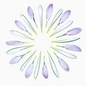 菊花,培育品种,品种,丁香,输入,独特,花瓣,两个,精美,放置,圆