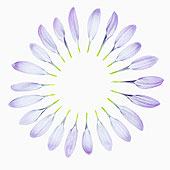 菊花,培育品种,丁香,输入,苍白,独特,花瓣,精美,创作,满,圆