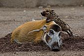 红河,猪,小猪,攀登,休息,成年,非洲