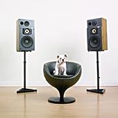 牛头犬,坐,扶手椅,两个,扬声器,白墙,木地板