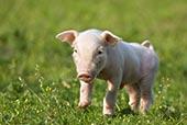 家猪,德国,欧洲