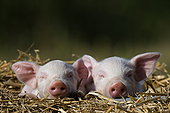 家猪,德国
