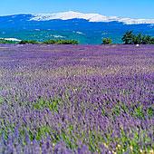 花,薰衣草,旺图山,山,普罗旺斯,法国